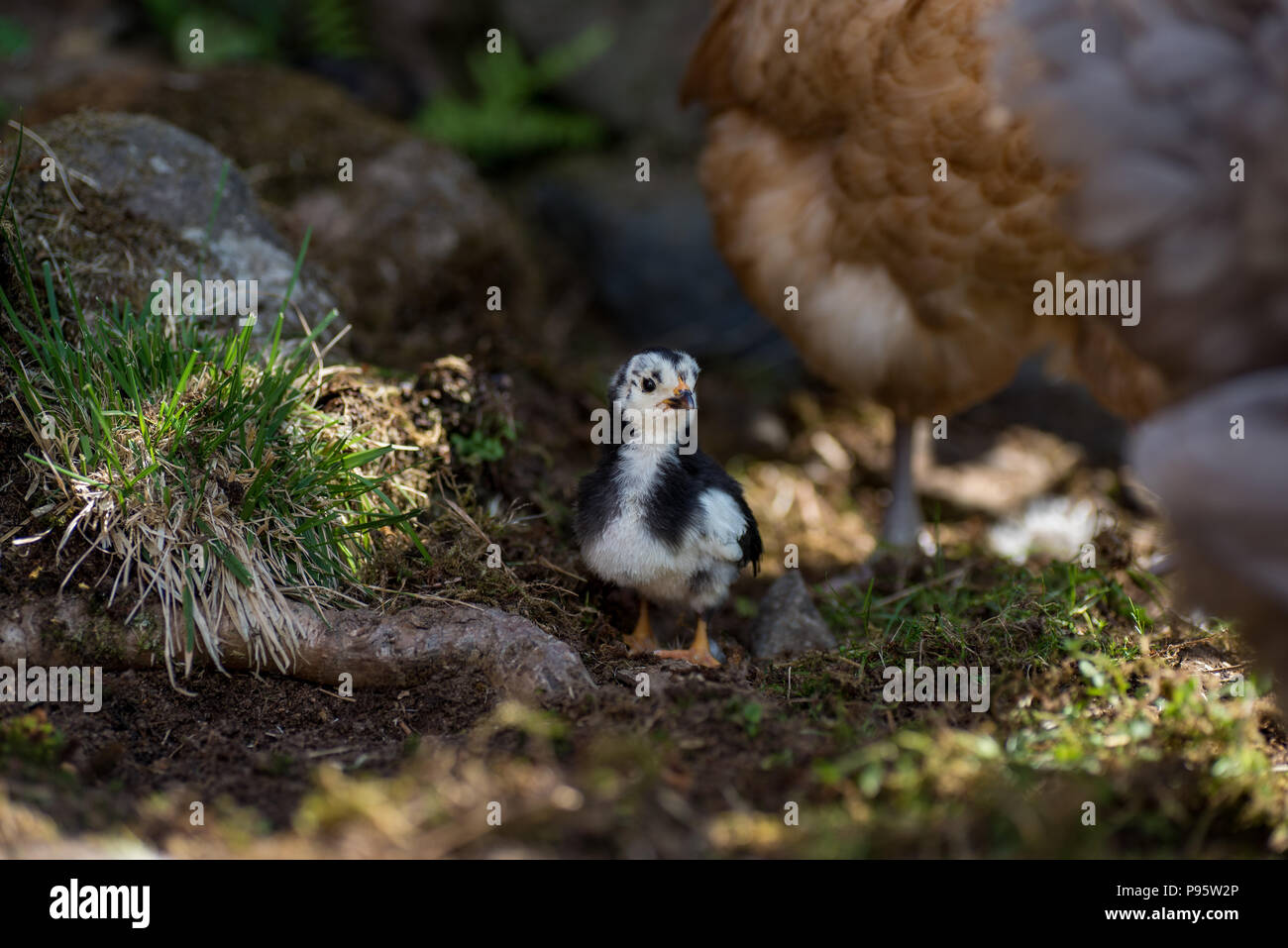 chicken near a hen on its first walk outside in a swedish garden - Stock Image