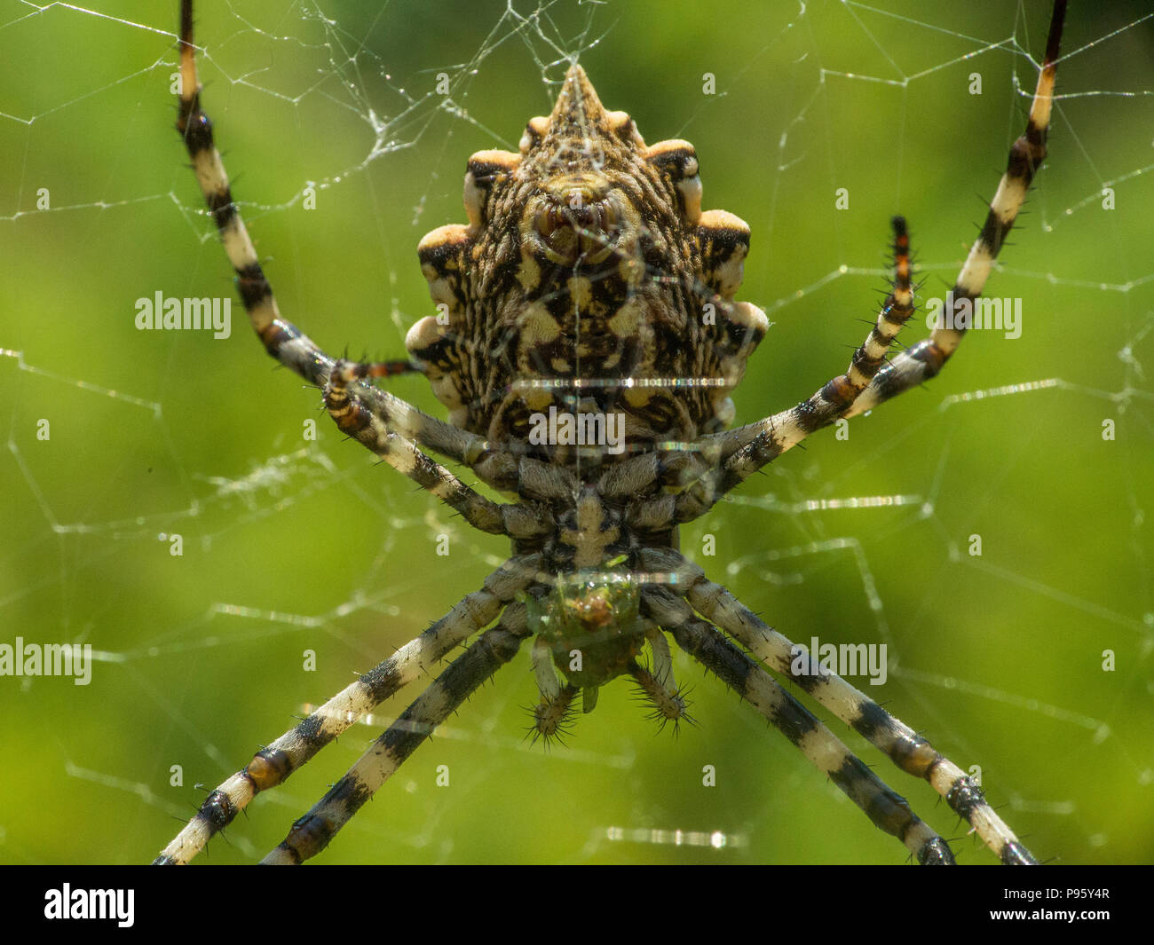 Argiope lobata is a species of spider belonging to the family Araneidae. It has a wide distribution encompassing the whole of Africa and stretching to - Stock Image