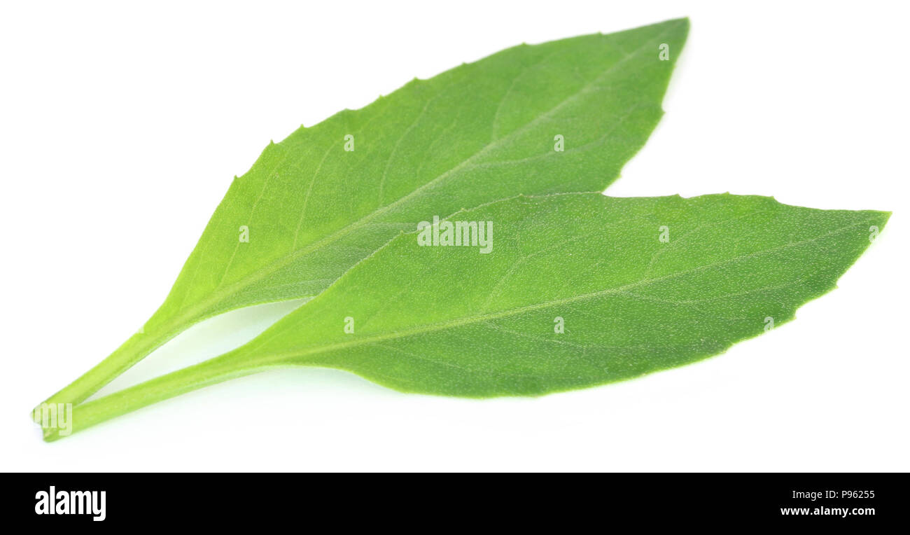Gynura procumbens known as longevity spinach used as herbal medicine for many diseases - Stock Image