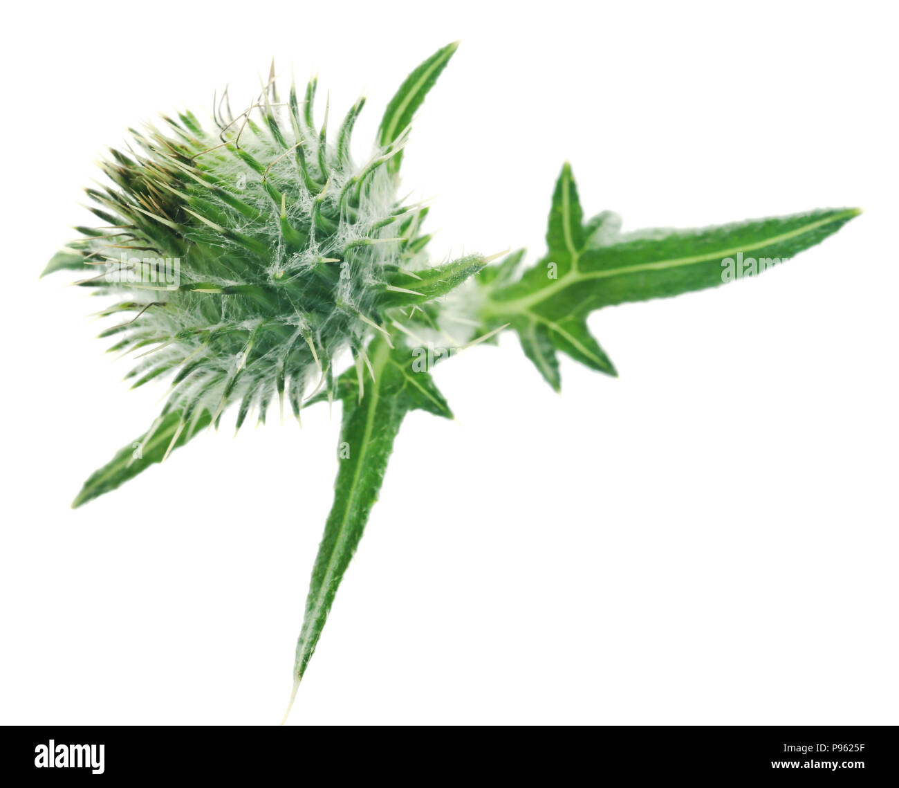 Milk thistle used as medicinal herb over white background - Stock Image