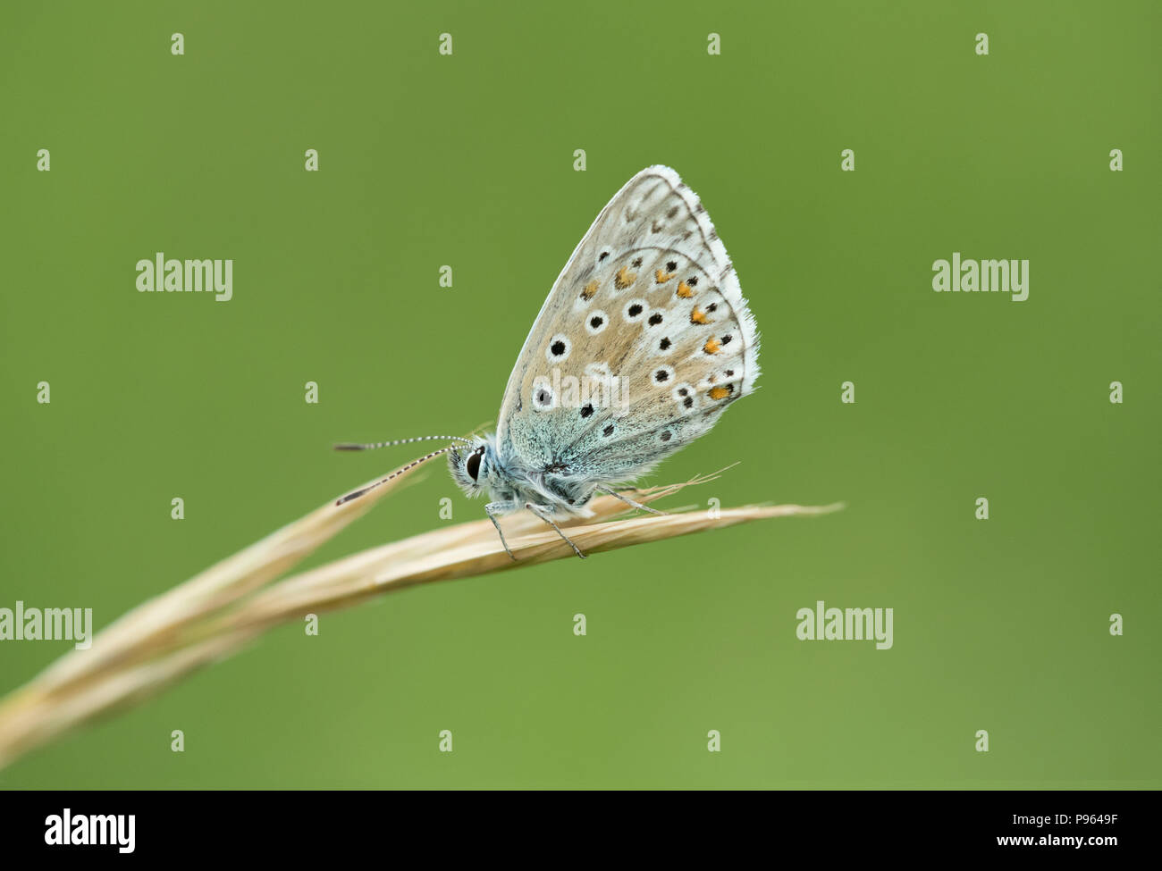 An Adonis Blue butterfly at Martin Down NNR in Hampshire. - Stock Image