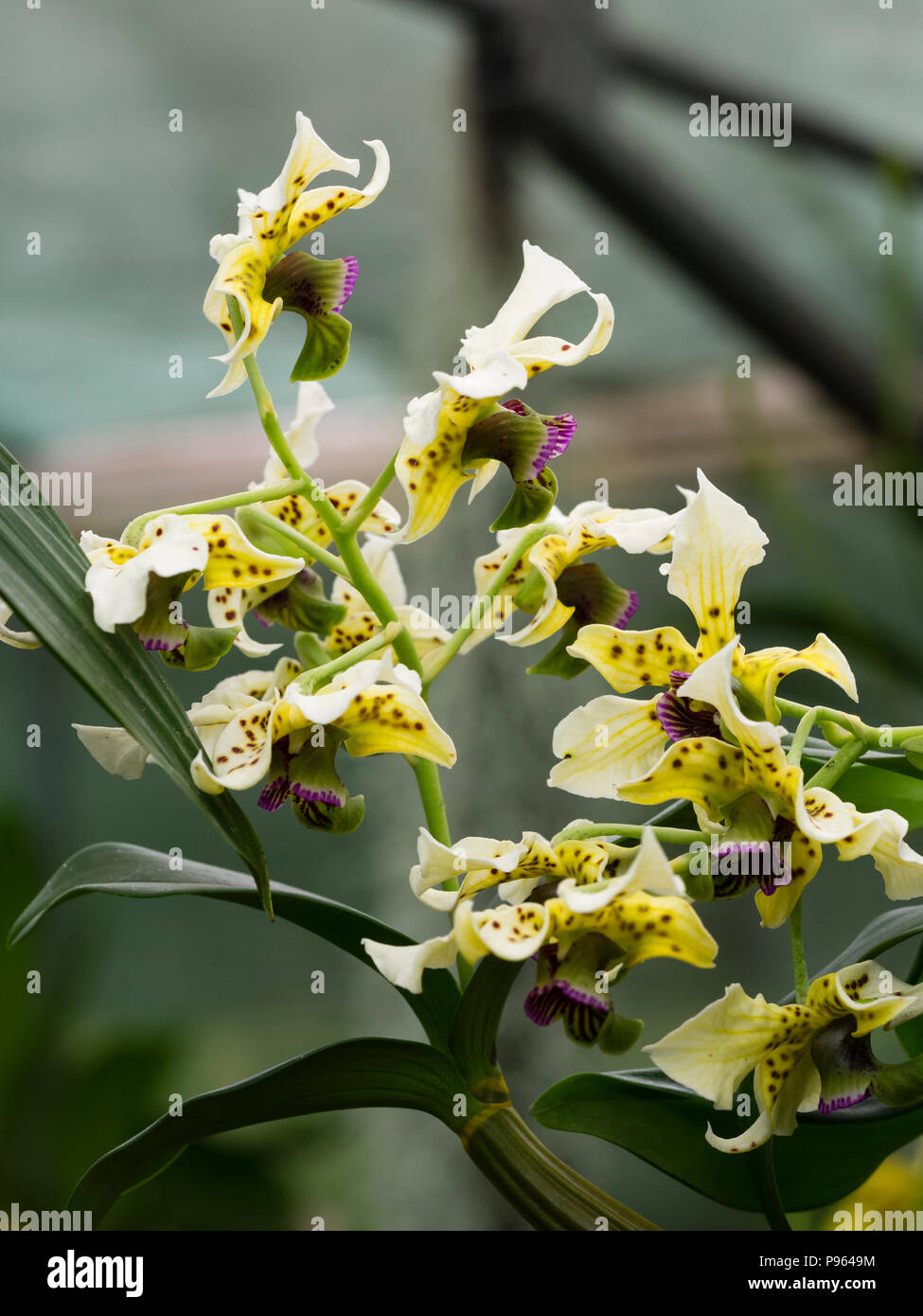 Spotted cream flowers and dark violet lip of the New Guinea epiphytic orchid, Dendrobium atroviolaceum Stock Photo