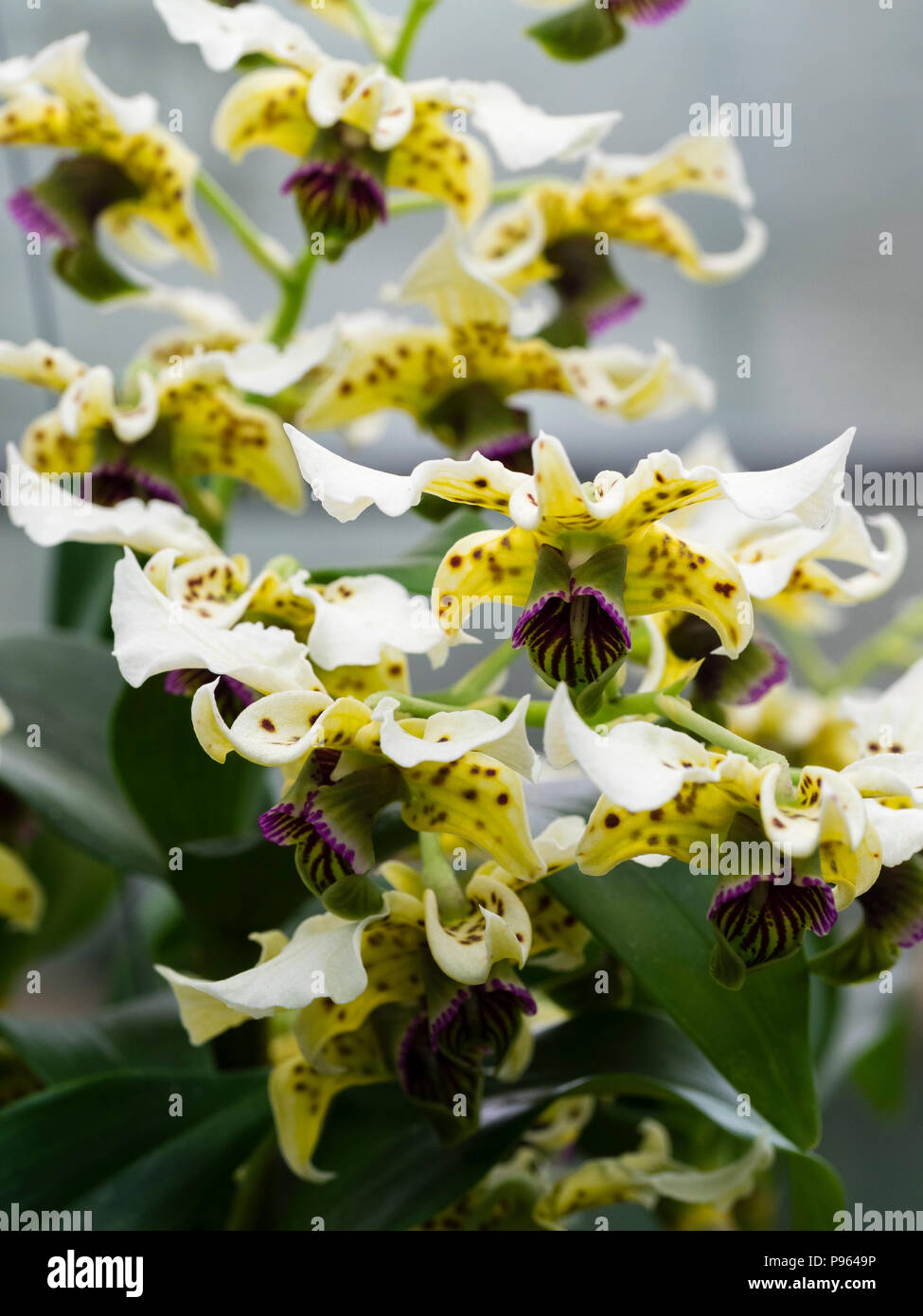Spotted cream flowers and dark violet lip of the New Guinea epiphytic orchid, Dendrobium atroviolaceum - Stock Image