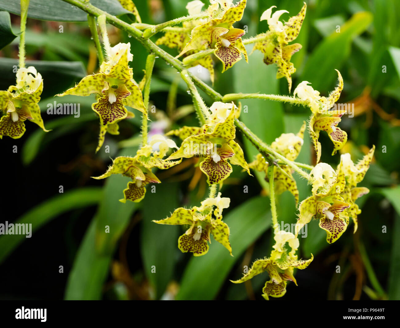 Flowers of the New Guinea epiphytic orchid, Dendrobium polysema,  flowering in summer - Stock Image