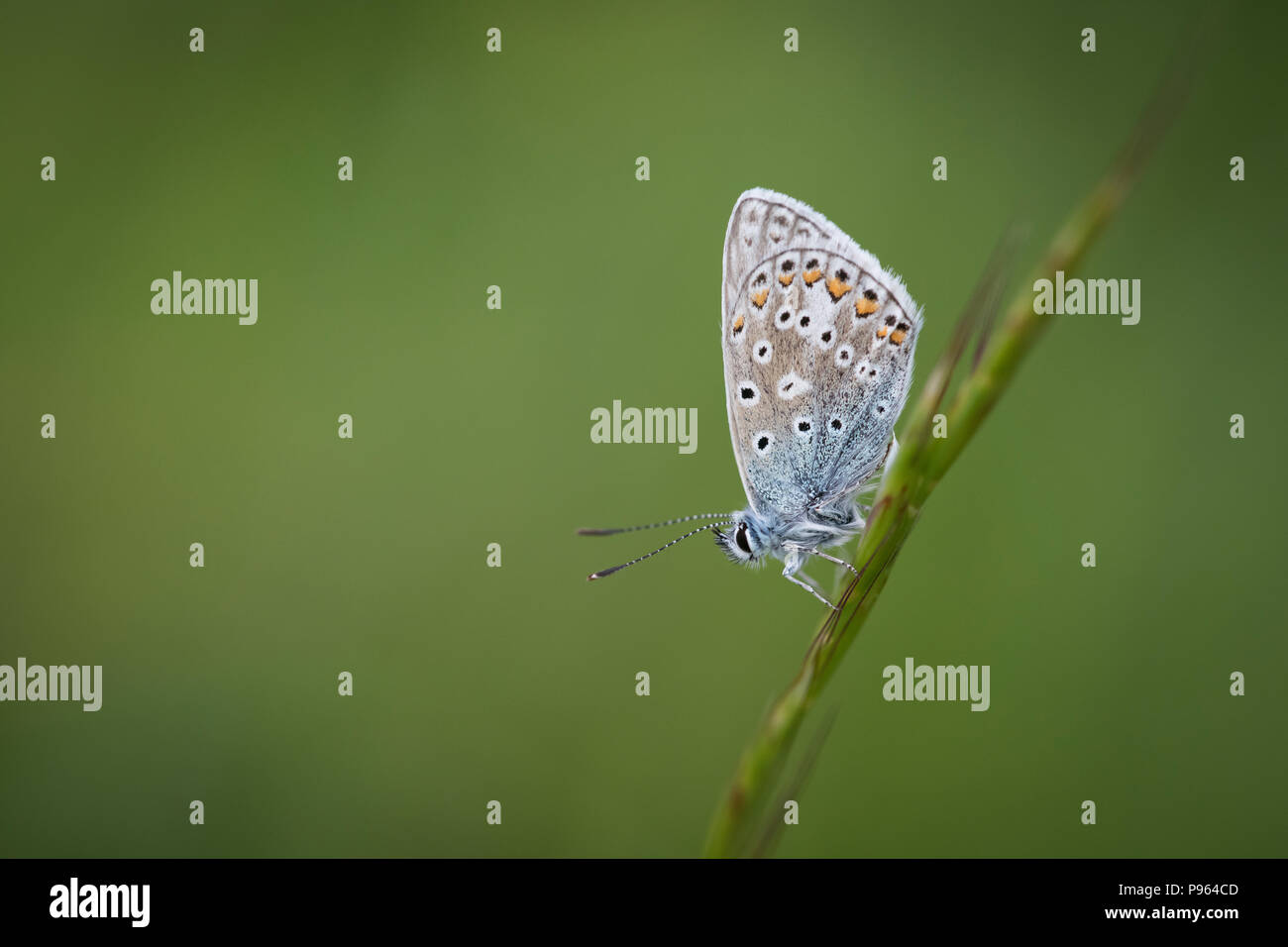 A Common Blue at Martin Down NNR in Hampshire. - Stock Image
