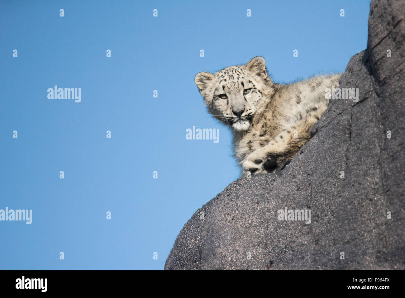A young snow leopard explores its habitat at The Toronto Zoo, where it is part of a successful captive breeding program for this vulnerable species. - Stock Image