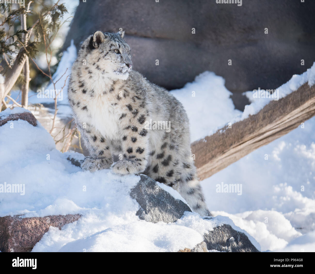 A snow leopard cub explores its snow-filled habitat at The Toronto Zoo, where it is part of a captive breeding program for this vulnerable species. - Stock Image