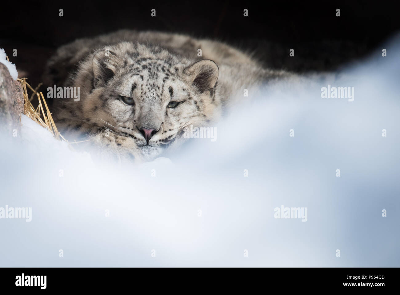 A snow leopard cub rests in its den at The Toronto Zoo.  Vulnerable to extinction in the wild, this animal is part of a captive breeding program. - Stock Image