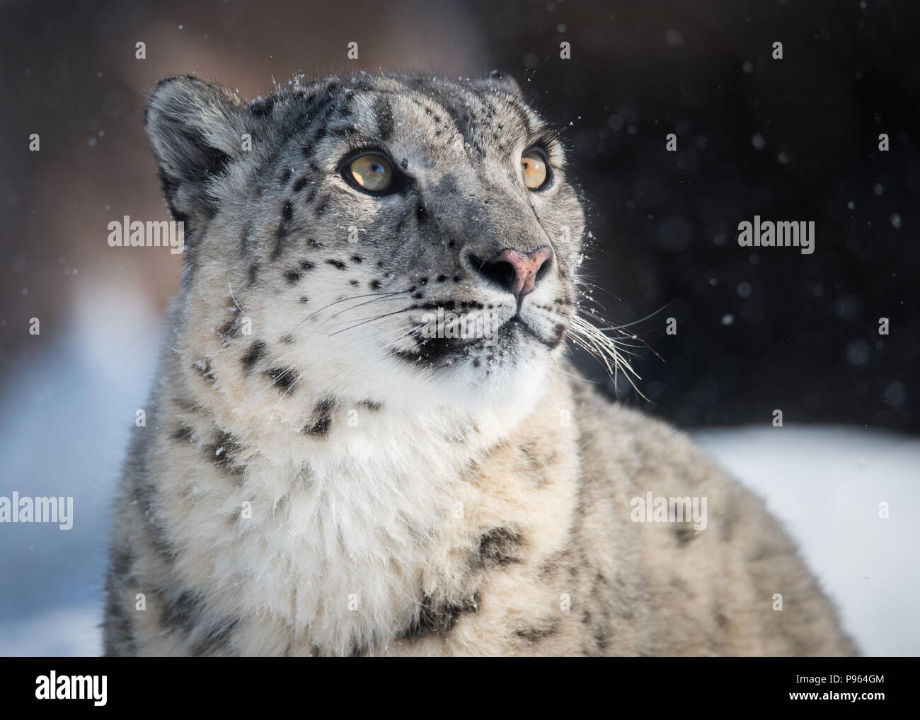 Snow leopard Ena watches the snow fall at The Toronto Zoo, where she is part of a successful captive breeding program for this vulnerable species. - Stock Image