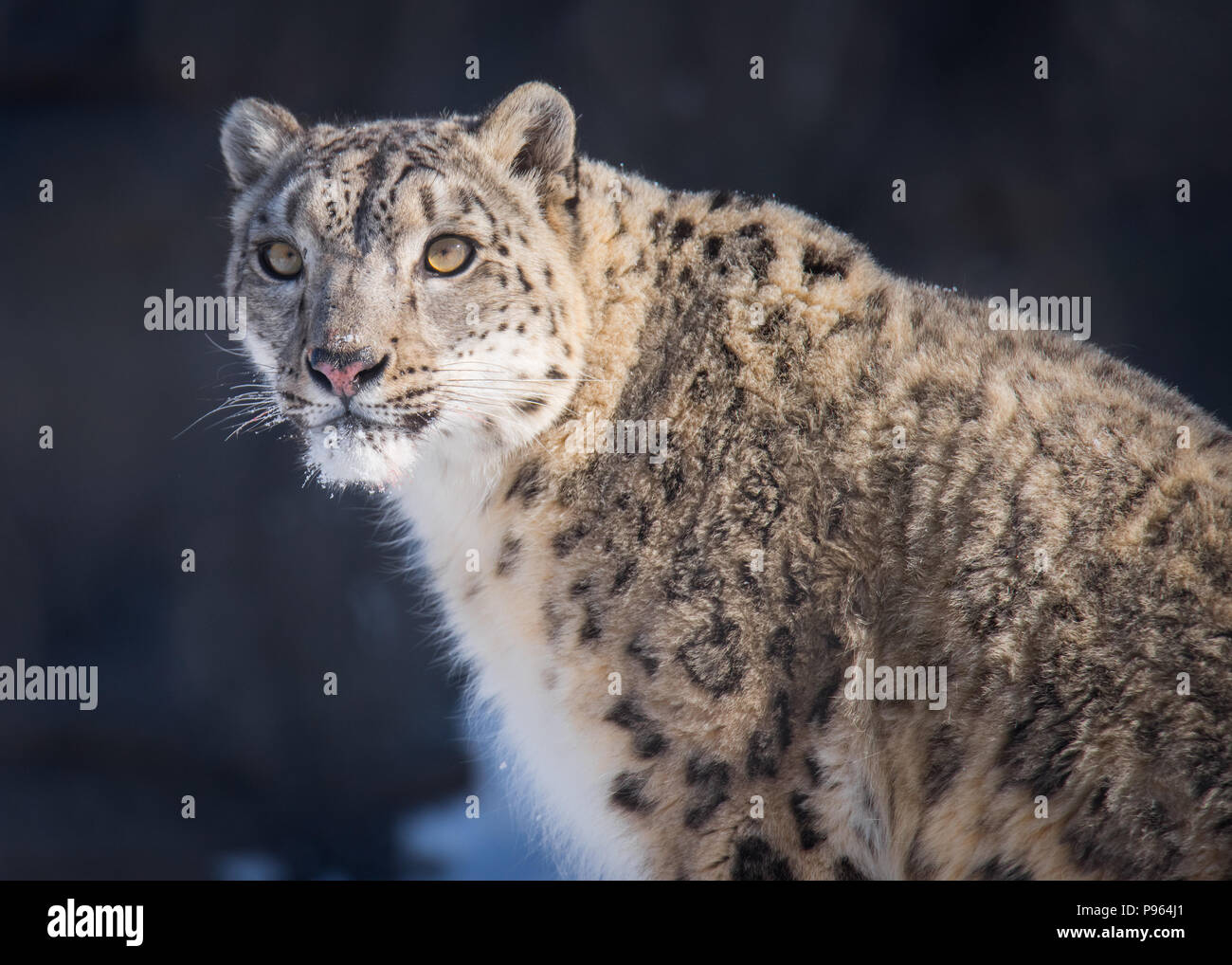 A snow leopard named Ena catches the low morning sun at The Toronto Zoo, where she is part of a captive breeding program for this vulnerable species. - Stock Image