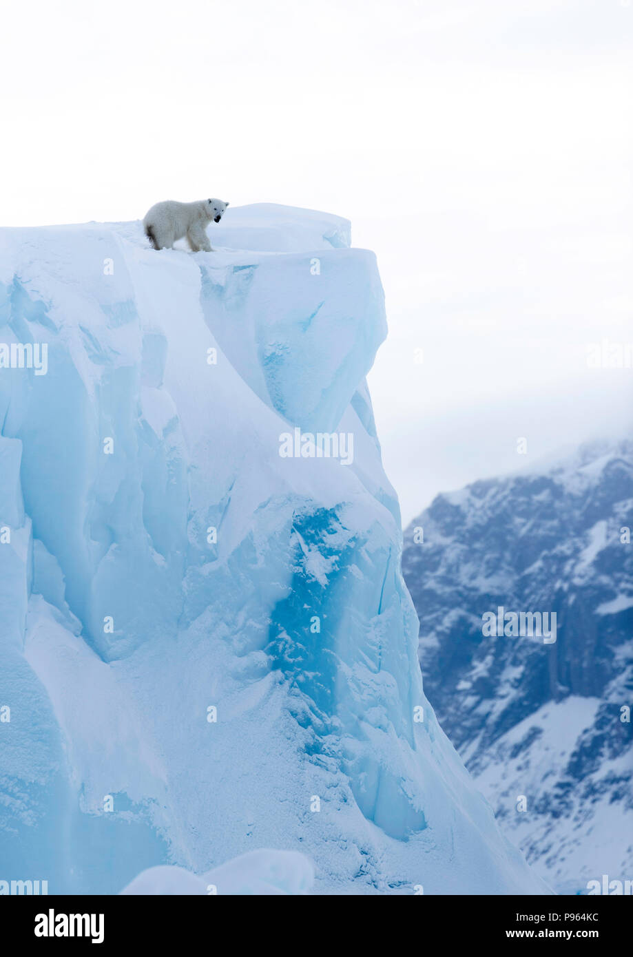 Polar bear cub looking down the face of an iceberg, Baffin Island, spring 2018. - Stock Image