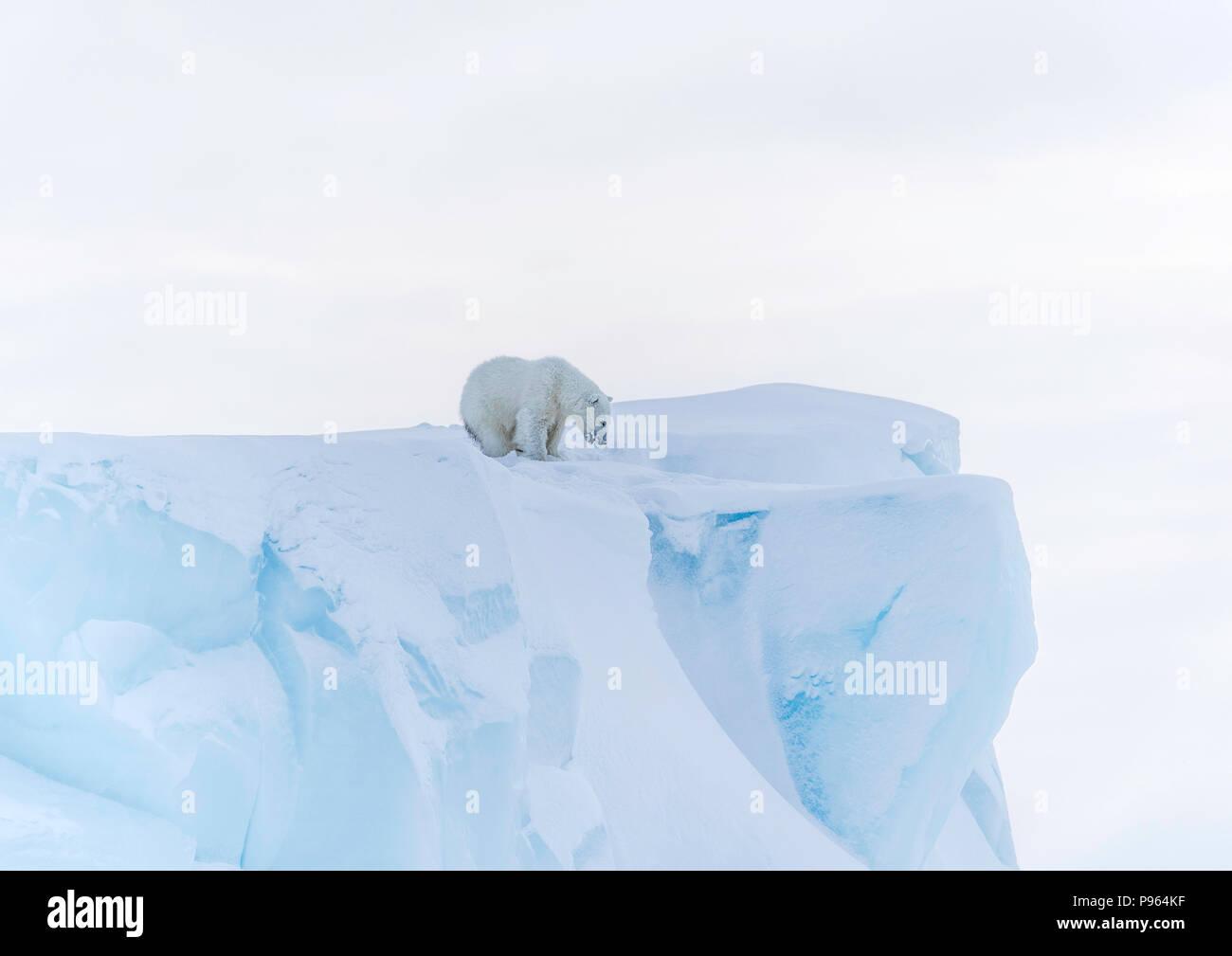 Polar bear cub looking down the face of an iceberg, Baffin Island, spring 2018. Stock Photo
