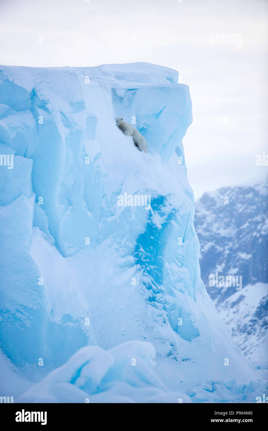 Polar bear cub starting to slide down the face of an iceberg, Baffin Island, spring 2018.  (It was unhurt!) - Stock Image