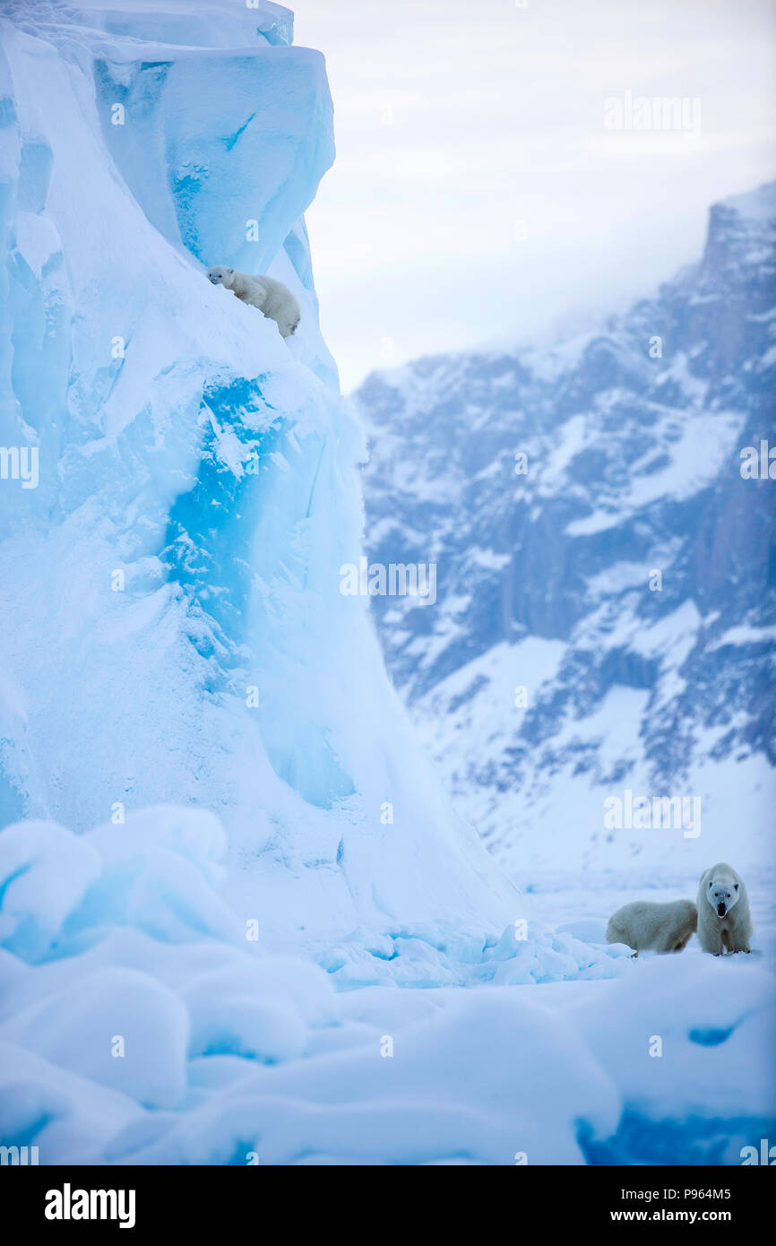 Mother and year old polar bear cub watch as second cub slides off the side of an iceberg.   (It was unhurt!) - Stock Image