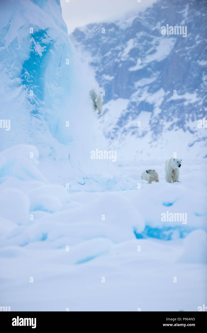 Mother and year old polar bear cub watch as second cub slides off the side of an iceberg.   (It was unhurt!) Stock Photo