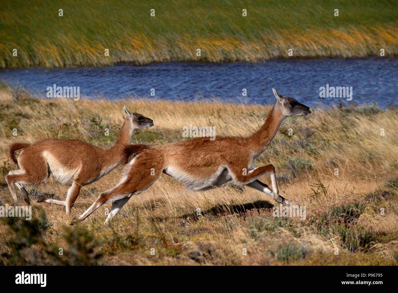 2 adult guanaco fleeing in panic after spotting a Patagonian Puma stalking the herd they were part of - Stock Image