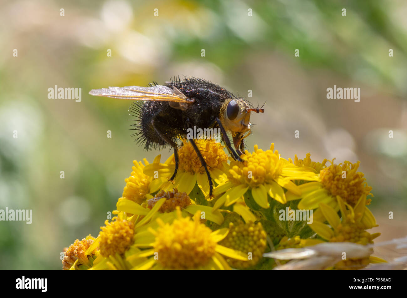 Tachina grossa fly nectaring. The largest European tachinid, in the family Tachinidae, with hairy black thorax and abdomen Stock Photo