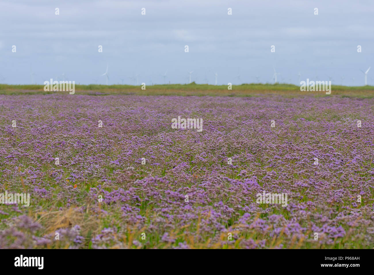 Common sea-lavender (Limonium vulgare) in flower. Expanse of purple flowers of plant in family Pumbaginaceae, at Gibralter Point in Lincolnshire, UK - Stock Image