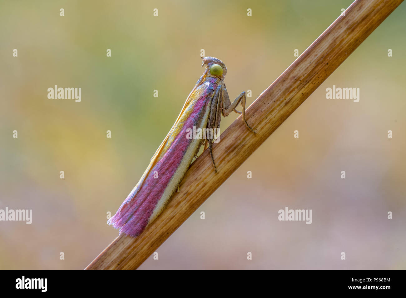 Oncocera semirubella micro moth on sedge. Insect in the family Pyralidae at rest, with striking purple and yellow colouration - Stock Image