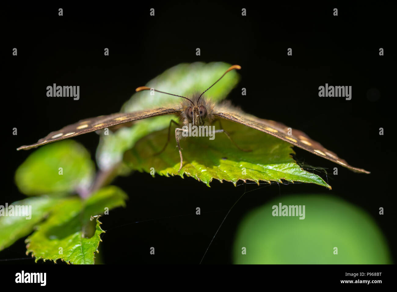 Speckled wood (Pararge aegeria) head on. Woodland butterfly in the family Nymphalidae at rest on bramble - Stock Image