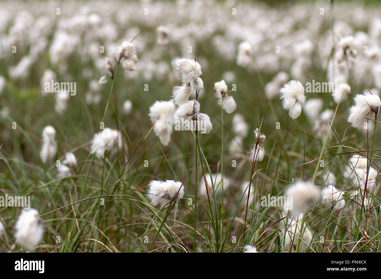 Common Cottongrass Eriophorum Angustifolium In Seed Sedge In The