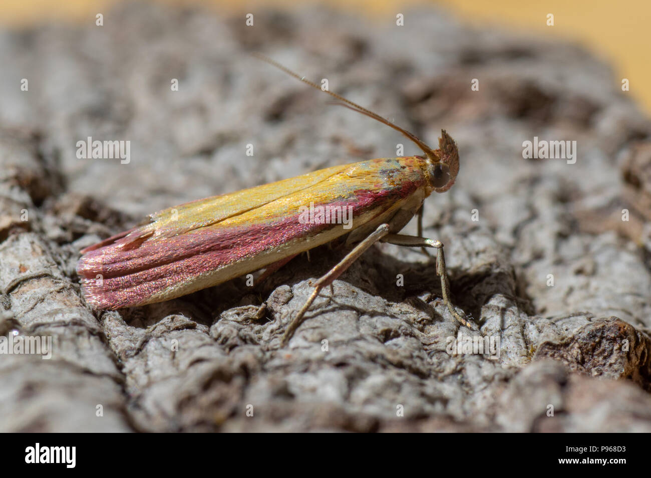 Oncocera semirubella micro moth. Insect in the family Pyralidae at rest, with striking purple and yellow colouration - Stock Image