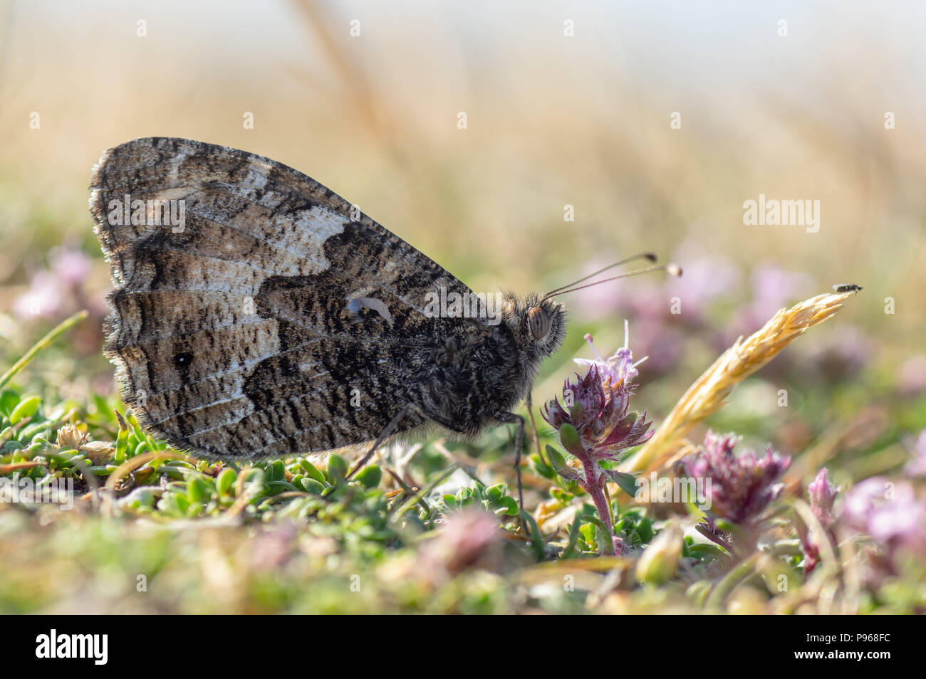 Grayling butterfly (Hipparchia semele) nectaring. Butterfly in the family Nymphalidae at rest on ground with underside of wings visible - Stock Image