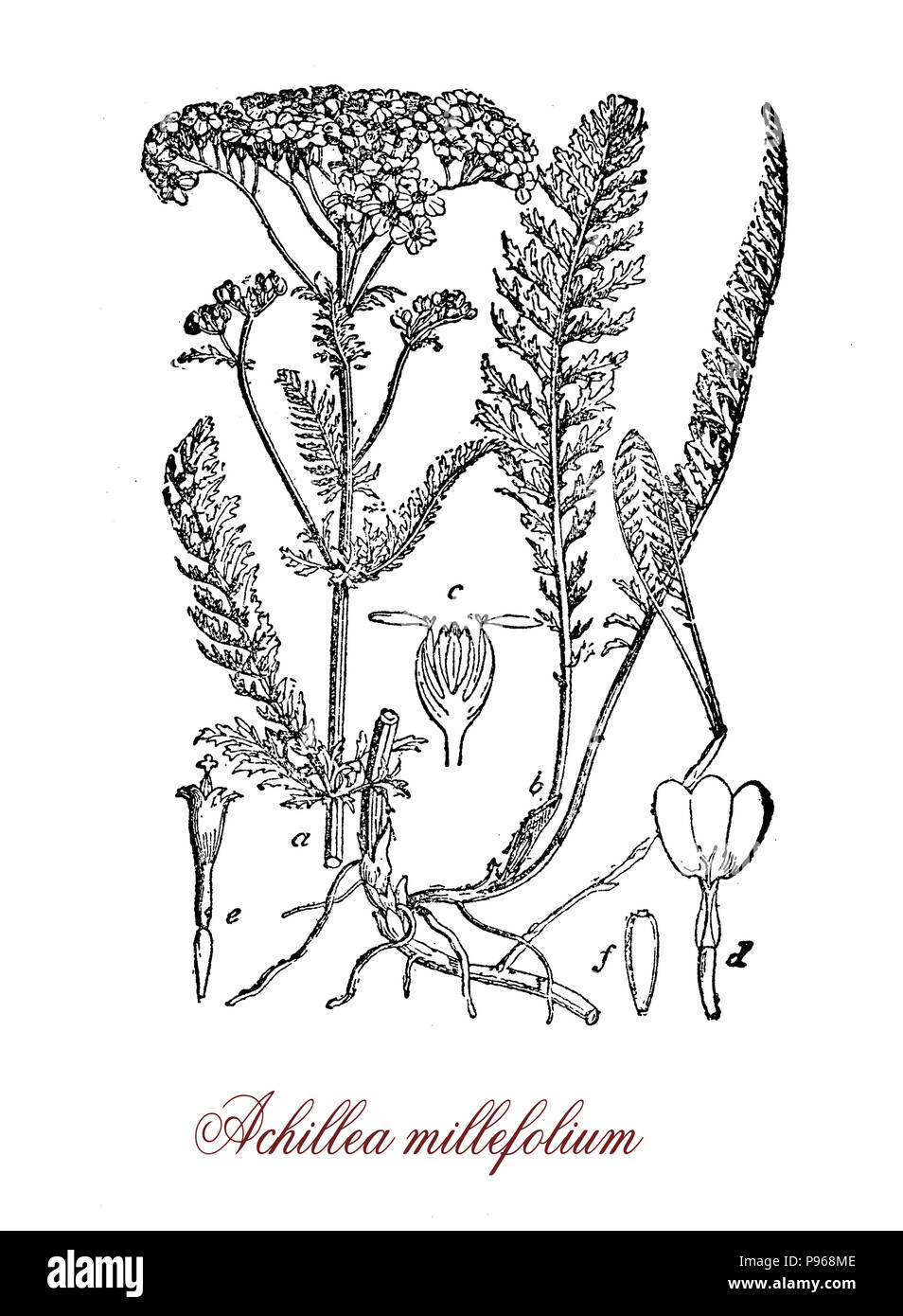 Achillea millefolium or common yarrow, flowering plant used in landscaping and in traditional medicine as astringent, old illustration - Stock Image