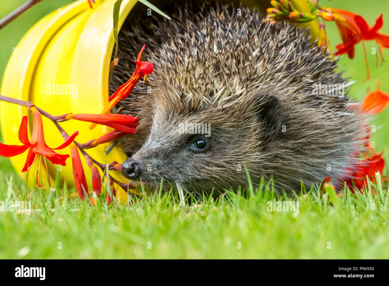 Hedgehog, wild, native hedgehog in yellow plant pot and red flowers.  Scientific name: Erinaceus europaeus.  Landscape - Stock Image