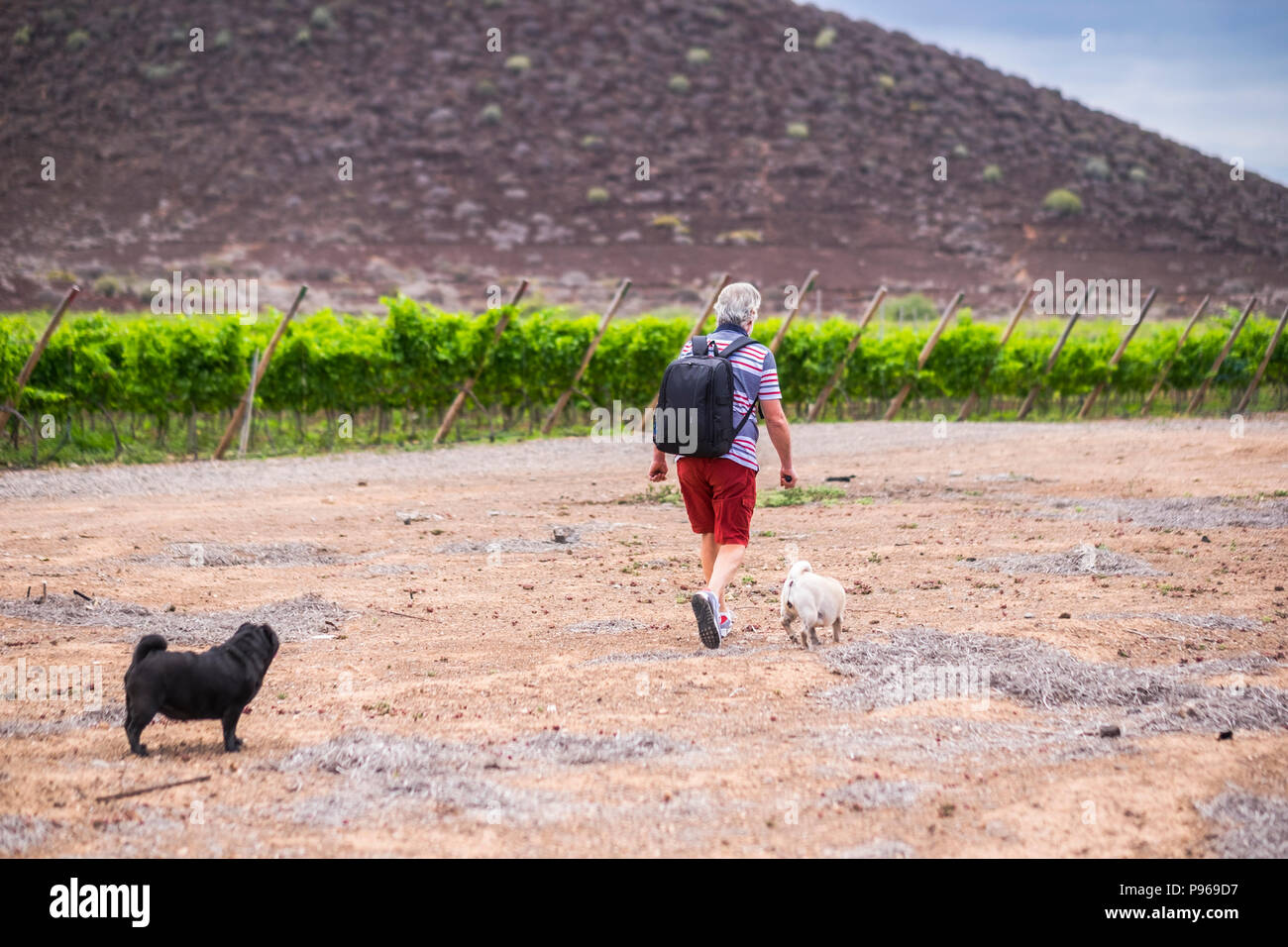 senior caucasian man have fun and enjoy a trekking walk in a path between mountain and vineyards with his companion dogs pug in totally friendship for - Stock Image