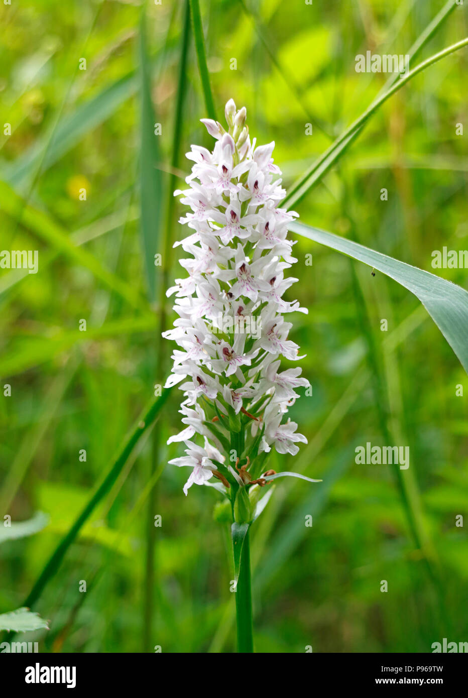 A flower spike of a Heath Spotted-orchid, Dactylorhiza maculata, on Southrepps Common, Southrepps, Norfolk, England, United Kingdom, Europe. - Stock Image