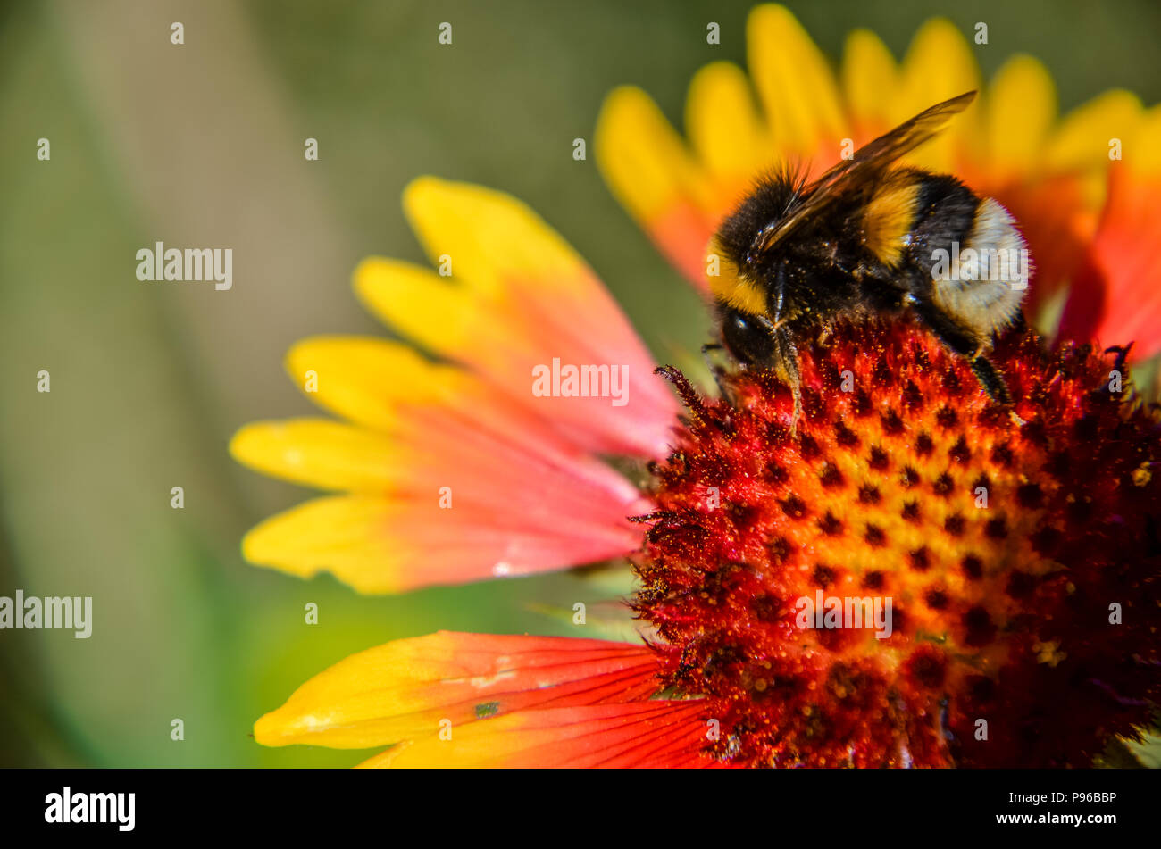 Bee on yellow and orange flower head of rudbeckia black-eyed susan - Stock Image