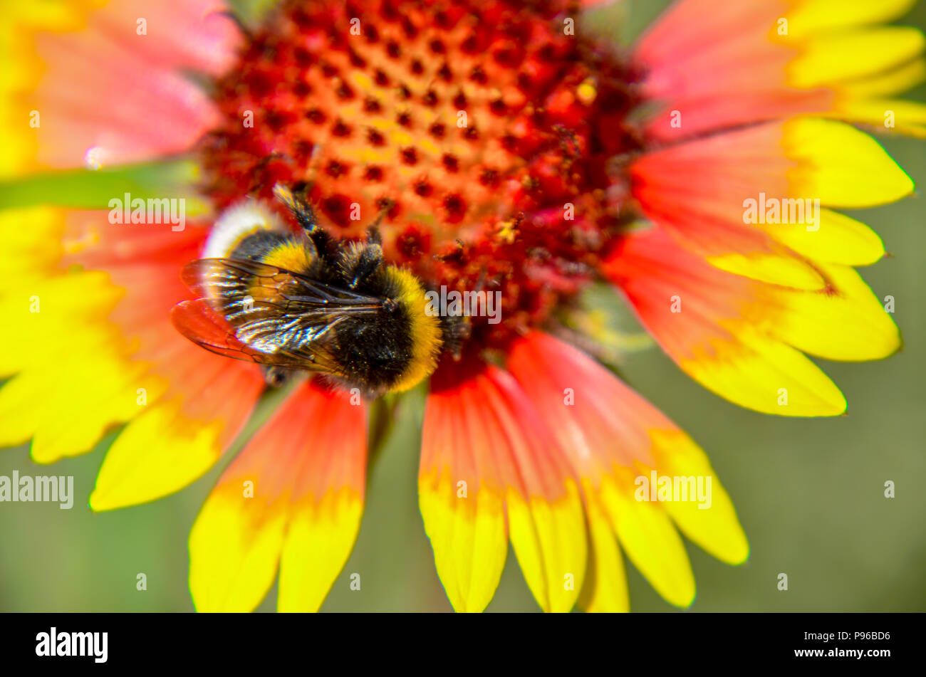 Bee on yellow and orange flower head of rudbeckia black-eyed susan - Stock Image