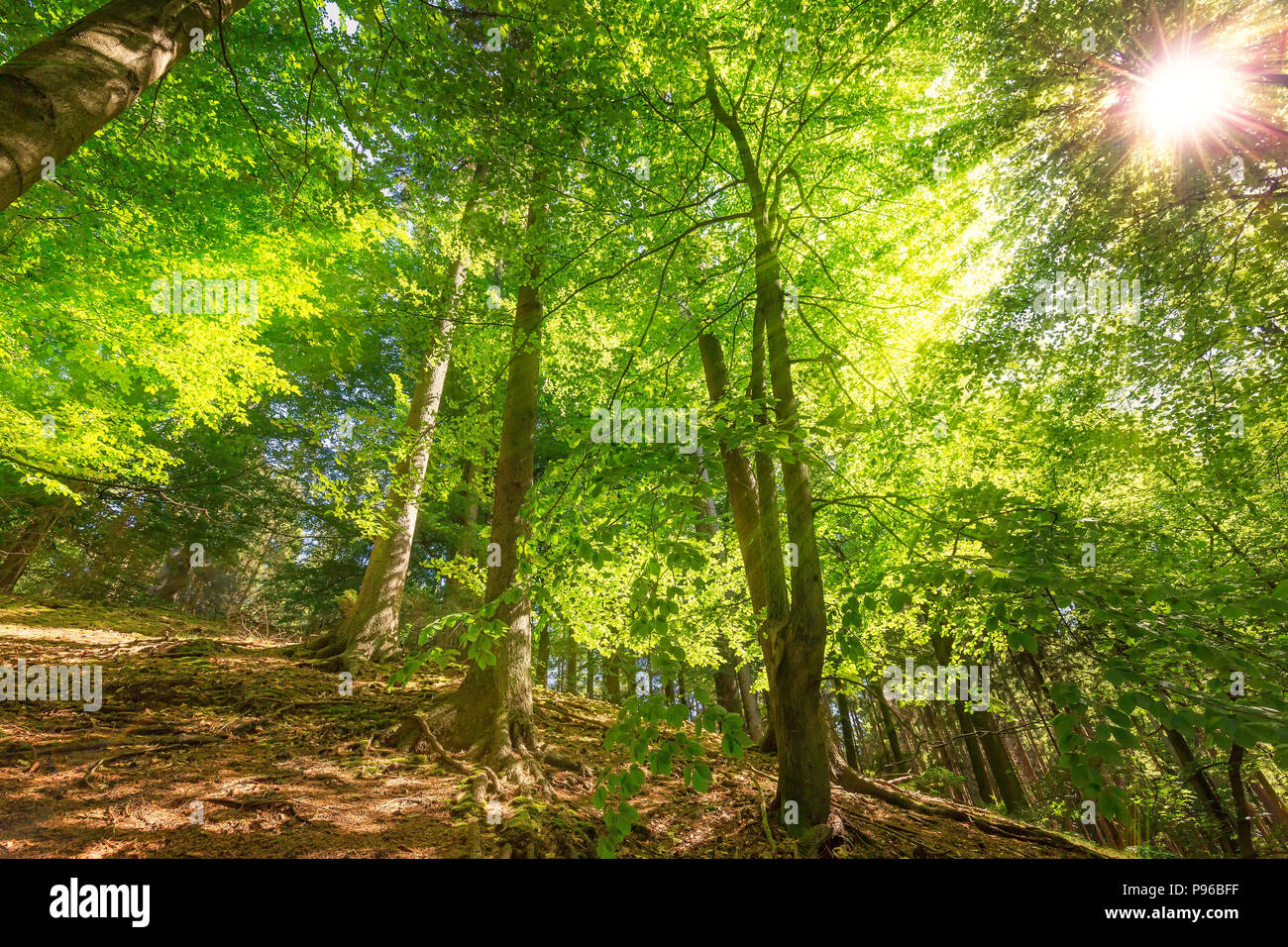 sunlight in deciduous forest - Stock Image