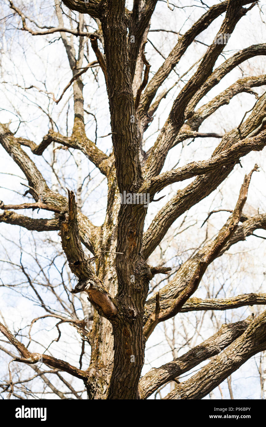 The trunk and branches of the old huge oak tree without leaves. Stock Photo