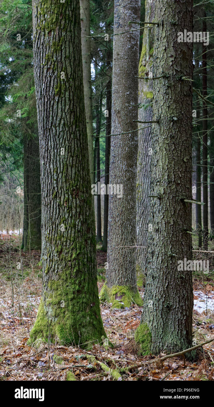 Coniferous stand of spruces in winter cloudy morning,  Bialowieza Forest, Poland, Europe - Stock Image