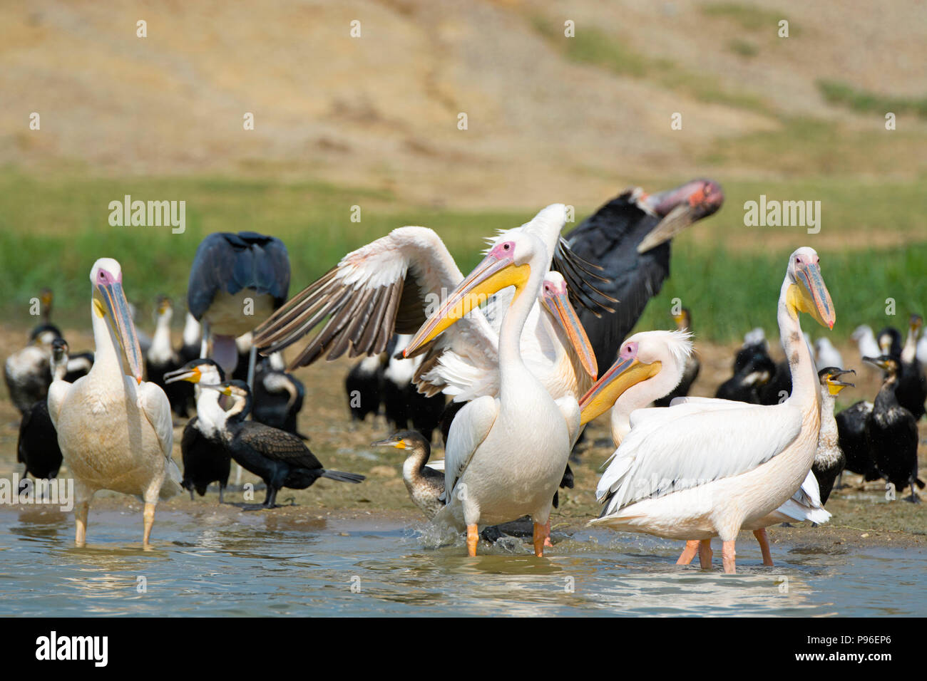 Great White Pelicans, Pelican, White Breasted Cormorant, Cormorants and Marabou Storks, Birds Kazinga Channel, Queen Elizabeth National Park, Uganda - Stock Image