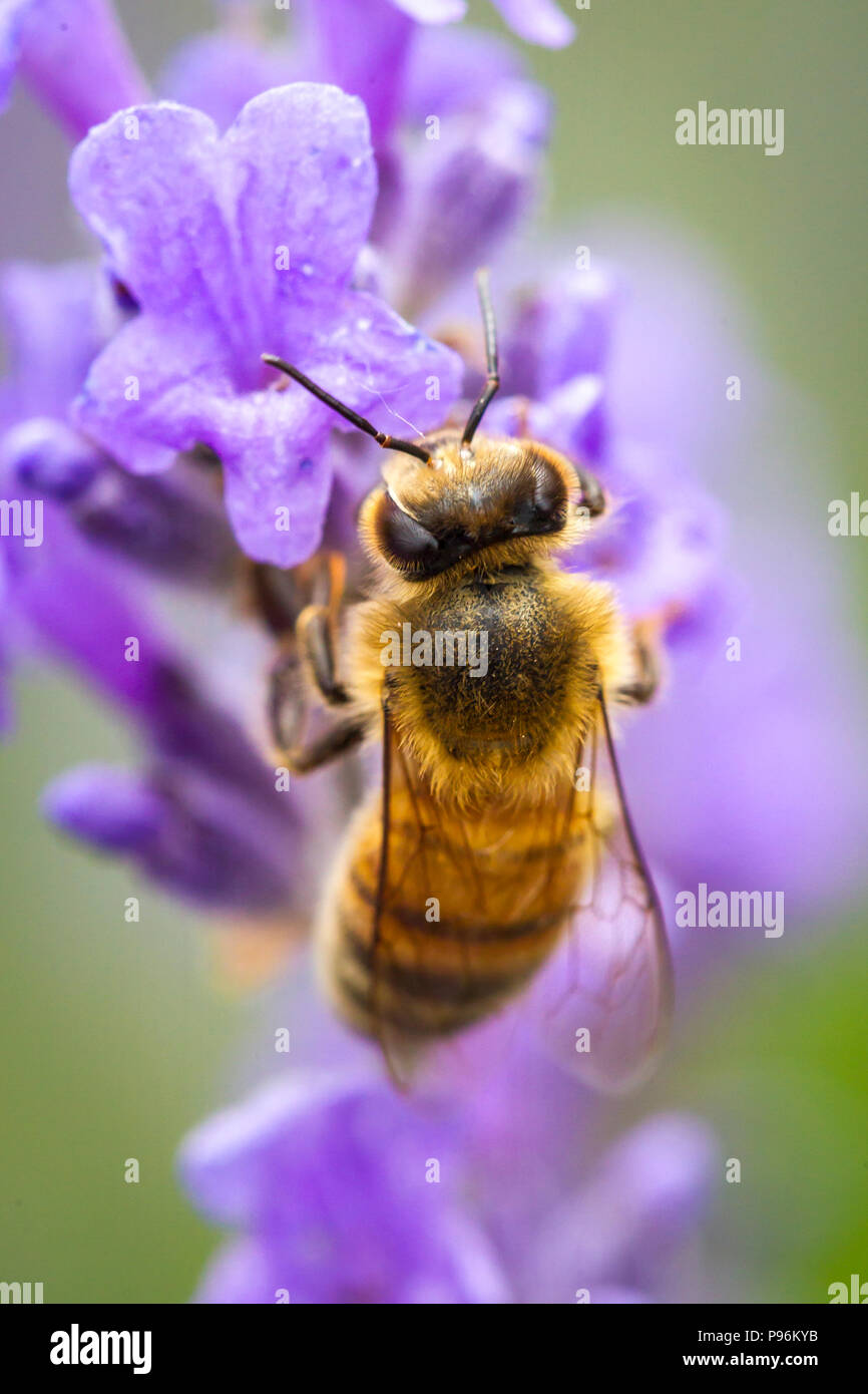 A close up of a honey bee, Apis, on a lavendar plant, Lavandula spica. - Stock Image