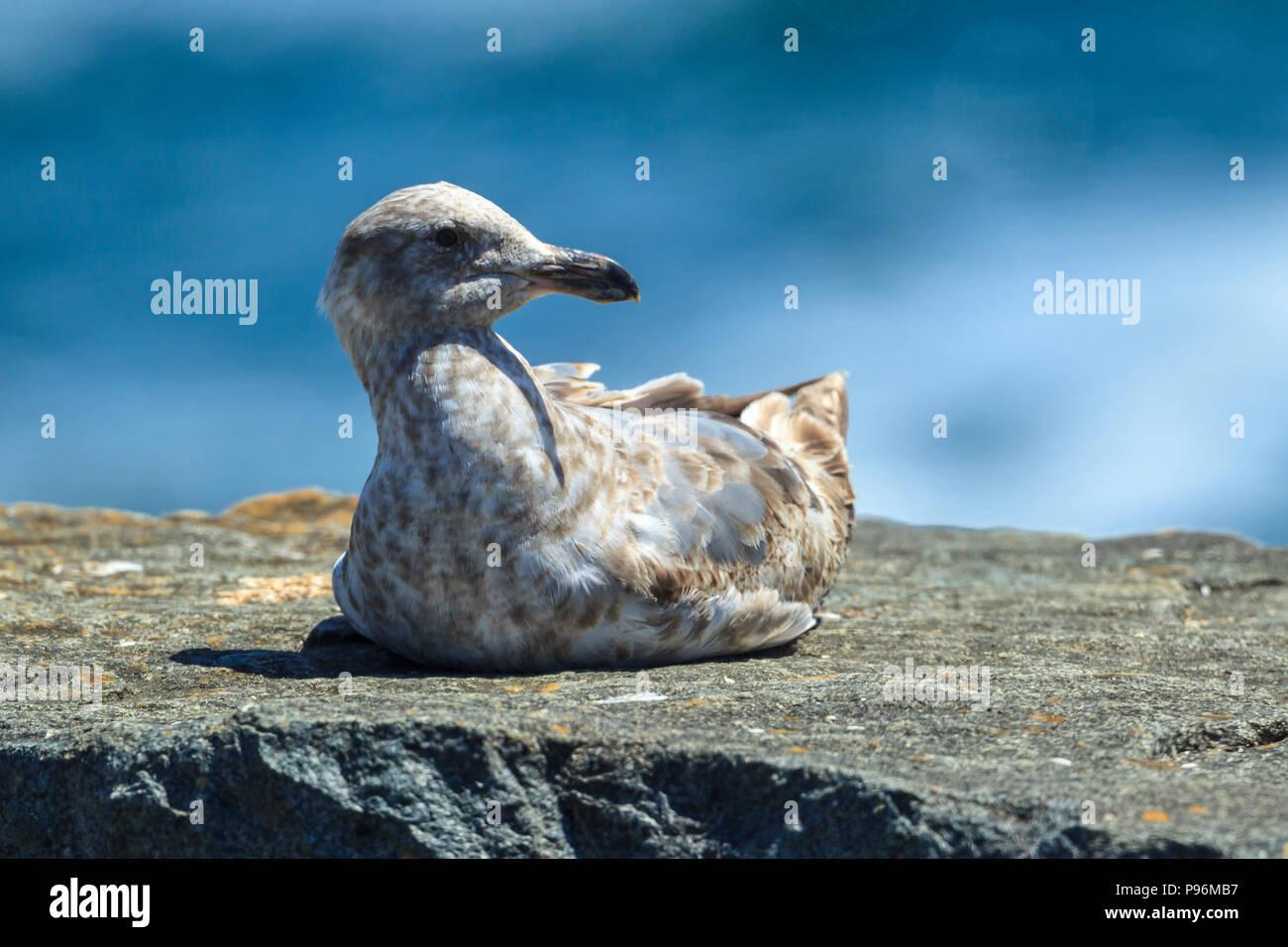 Immature mew gull, larus canus, perches on a rock near Garibaldi, Oregon. - Stock Image