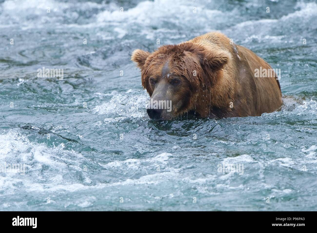 A Grizzly bear patiently waits in the frigid after, trying to catch a salmon in Brooks Falls, Katmai, Alaska - Stock Image