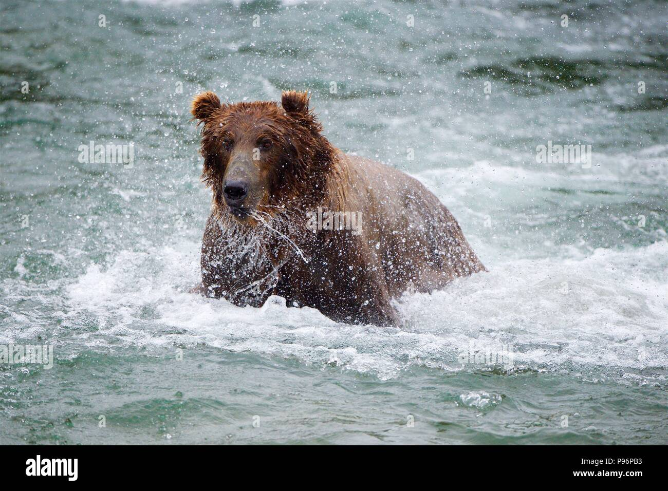 Grizzly bear catching salmon in Brooks Falls, Katmai, Alaska - Stock Image