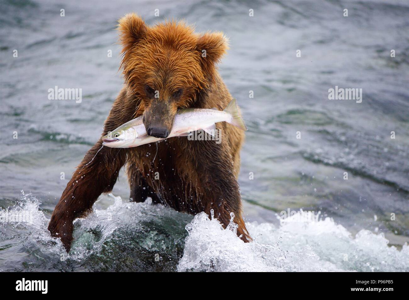 A grizzly bear catches a big salmon in Brooks Falls, Katmai, Alaska - Stock Image