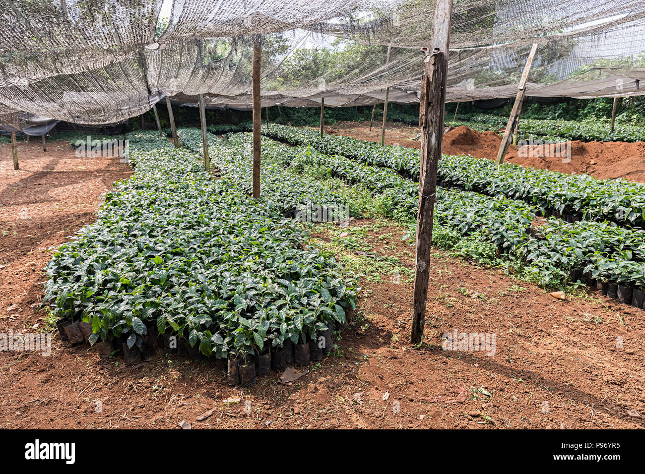 Coffee seedlings in plantation nursery, Paksong, Laos - Stock Image