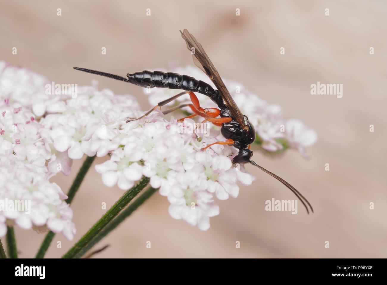 Ichneumonid Wasp feeding on umbellifer flower. Tipperary, Ireland - Stock Image