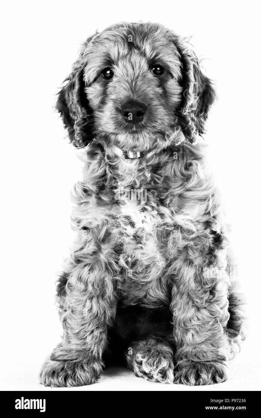 black and white portrait of cockerpoo cute puppy - Stock Image