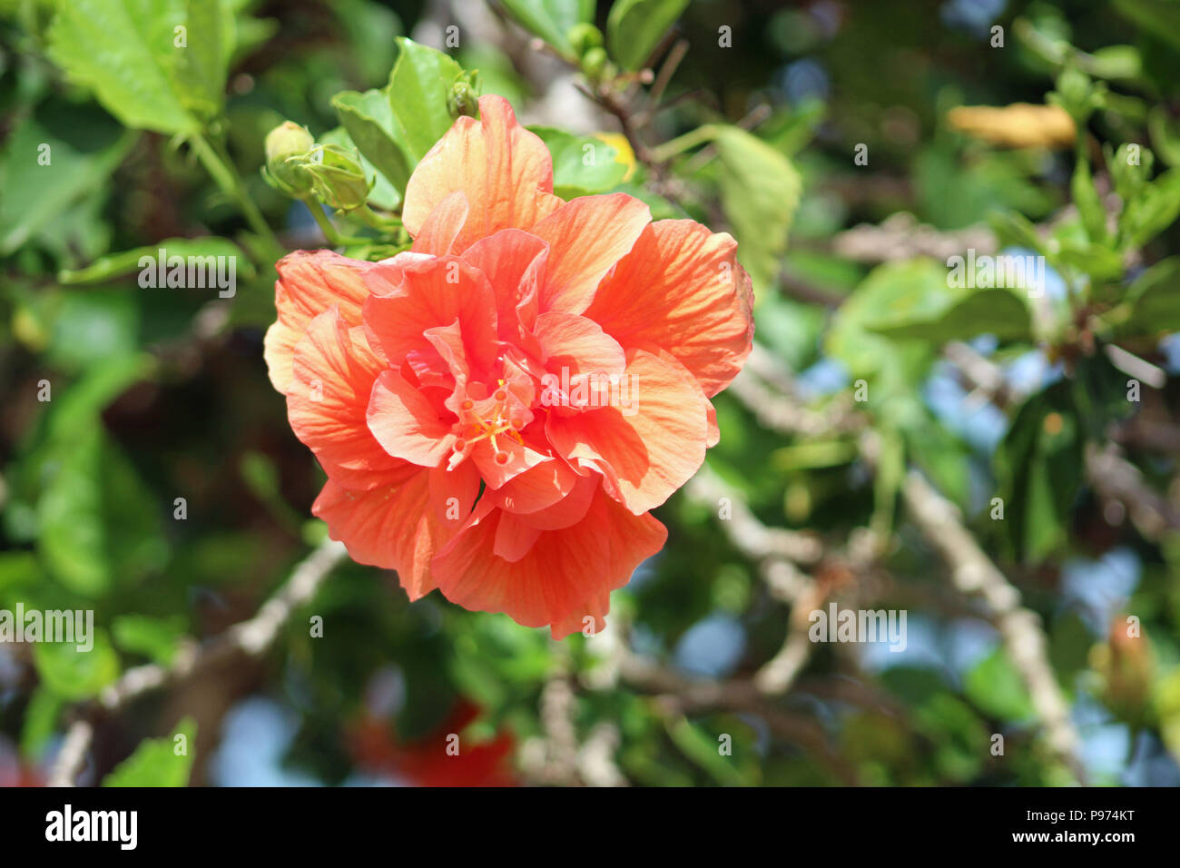 A peach colored hibiscus flower growing in the sun stock photo a peach colored hibiscus flower growing in the sun izmirmasajfo