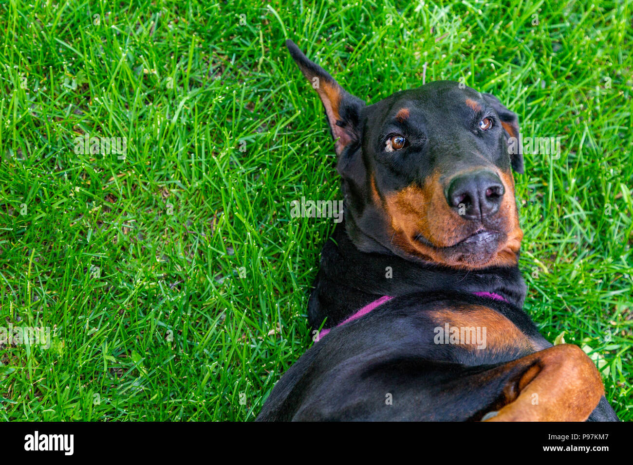 Funny doberman pinscher lies on the grass - Stock Image