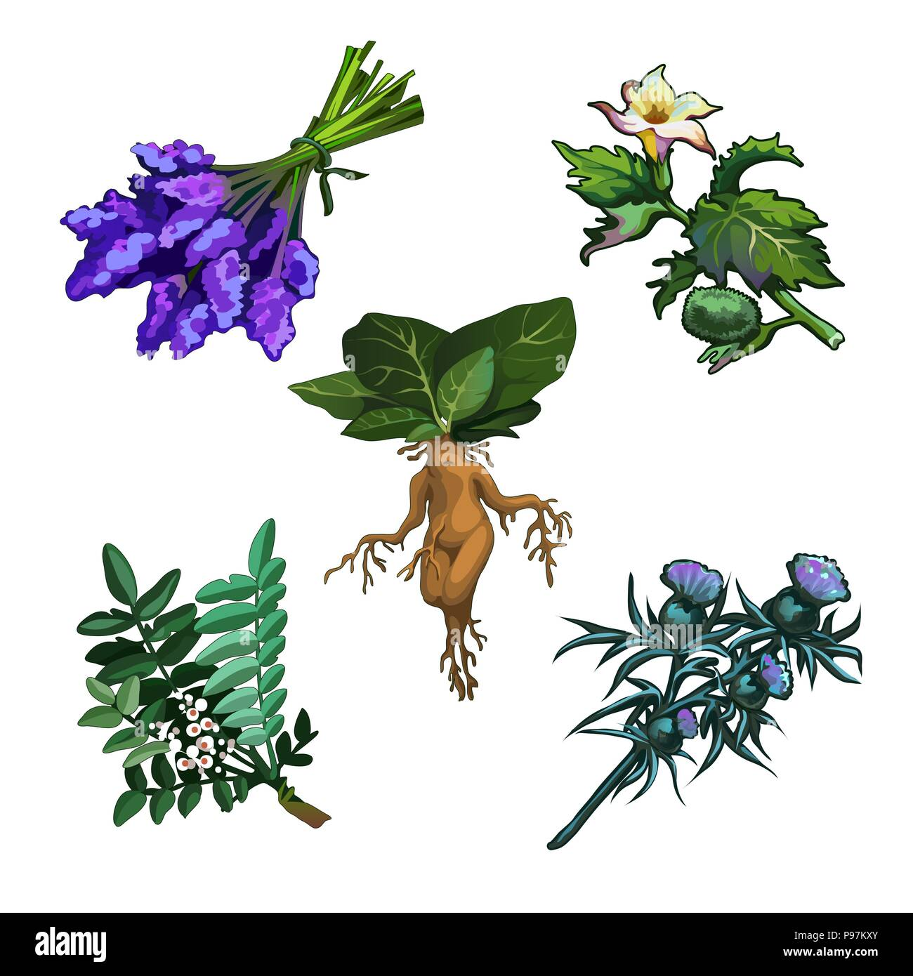 Set of noxious plants isolated on white background. Ingredients for magical potions. Common yew or Taxus baccata, Mandrake root, Thornapple or Datura stramonium, Milk Thistle or Silybum marianum - Stock Image
