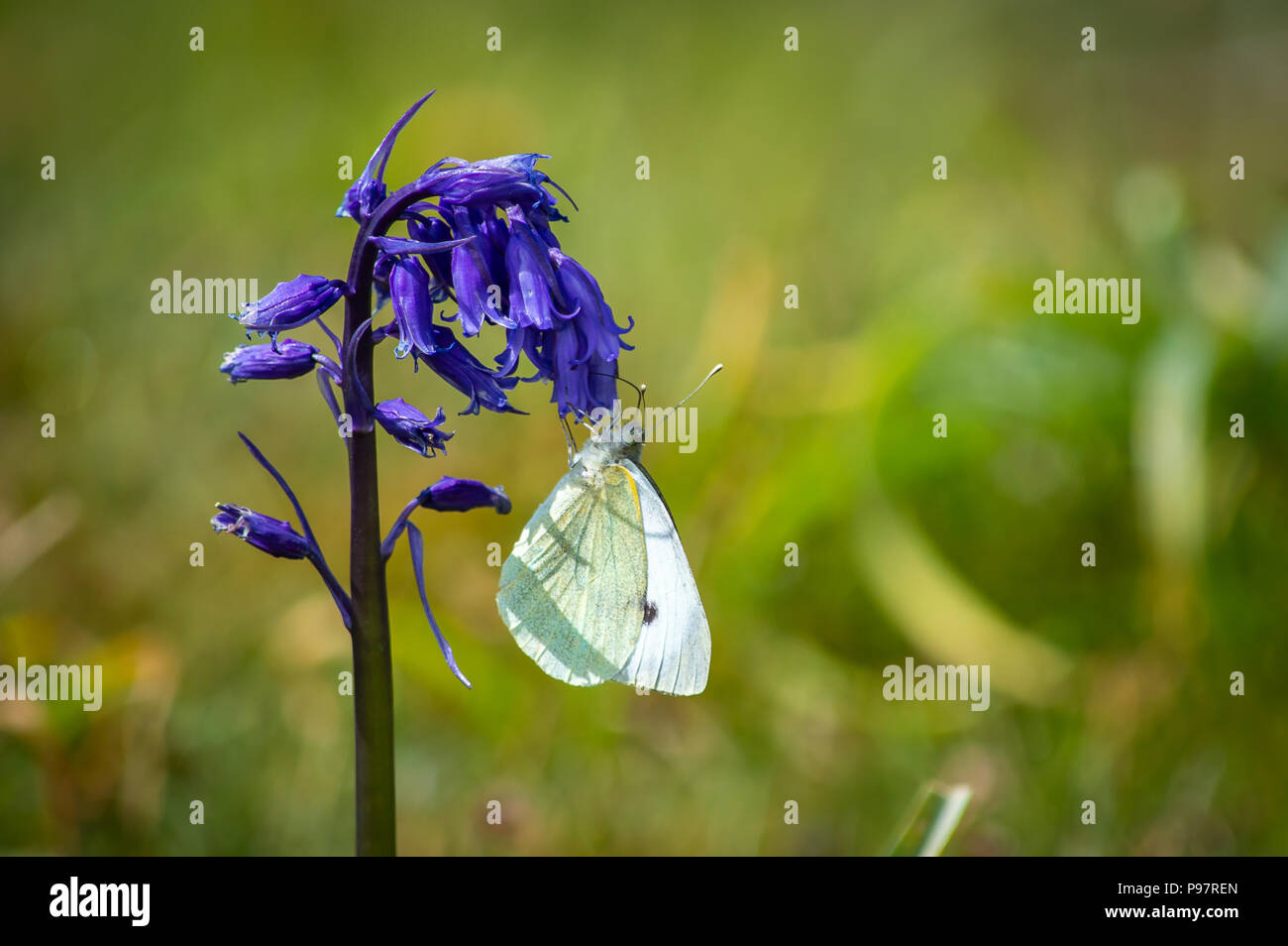 Large White butterfly feeding from a bluebell - Stock Image