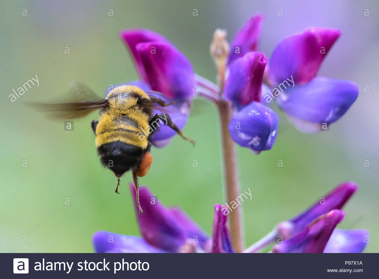 Sonoran bumble bee flying to lupine flower - Stock Image